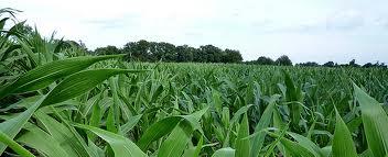 corn and bean field 1